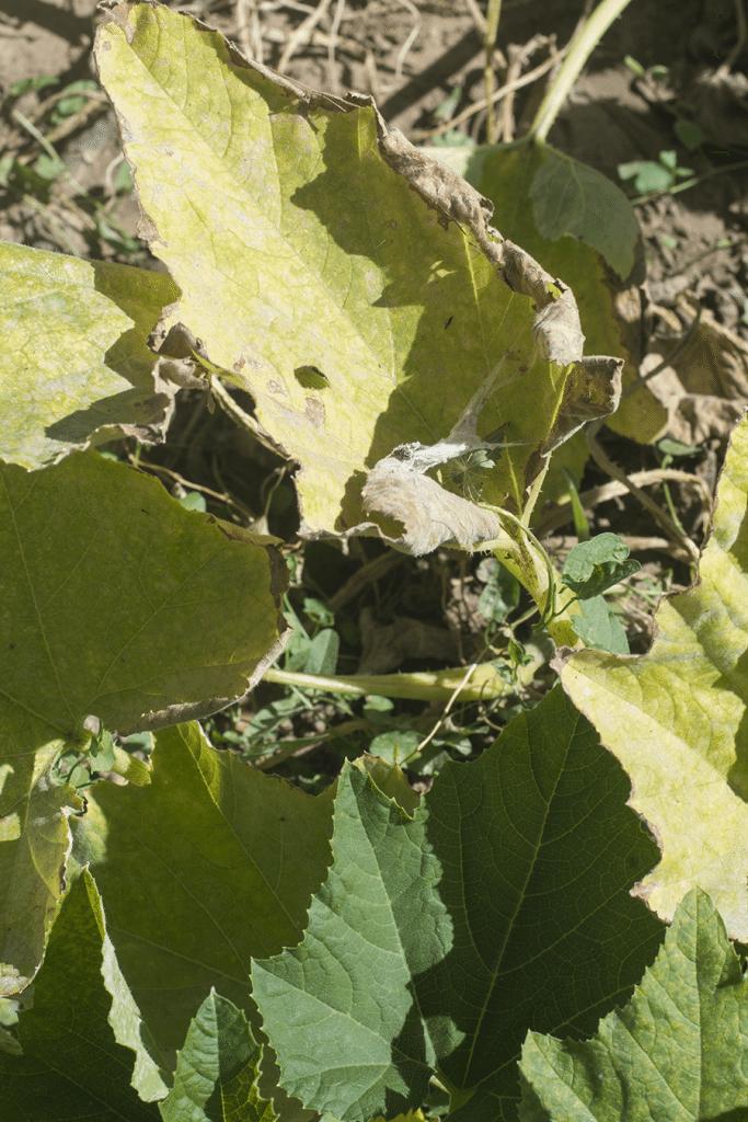 fungus leaves
